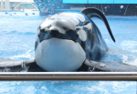 Tilikum's dorsal fin doesn't stand erect like his free counterparts