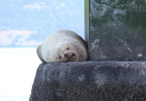 Lounging Stellar Sea Lion